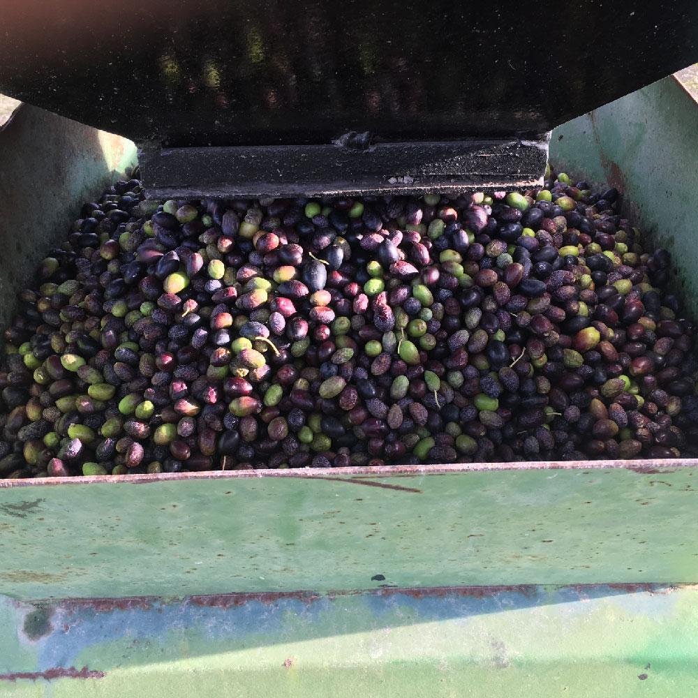 Fraîcheur-Récolte 2019-Picual-Huiles d'Olive Arsélia-Produit-3
