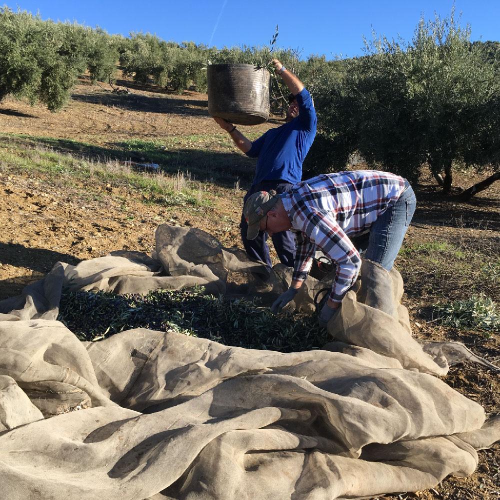 Qualité-Récolte 2019-Picual-Huiles d'Olive Arsélia-Produit-3